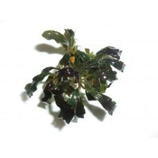 Bucephalandra Kedagang Japan T/C [Small] CUP