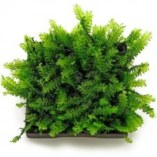 Cameroon Moss