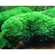 Riccardia chamedryfolia 'Mini Pellia'