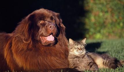 Kedilerle En iyi Geçinen 10 Köpek Cinsi