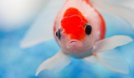 Japon Balıkları Hakkında 10 İlginç Bilgi