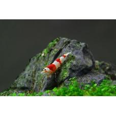 Prl Shrimp 0,8-1,2cm