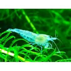 Blue Jelly Karides 1,2-1,5 cm