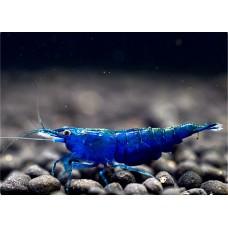 Mavi Melek 1-1,2cm